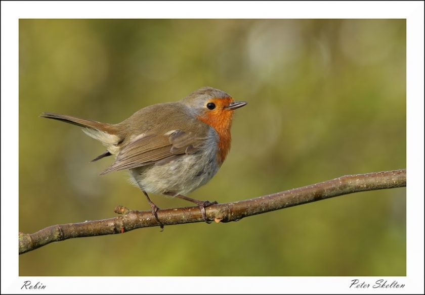 Coloured Photograph of a Robin