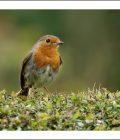 Coloured Photograph of a Robin